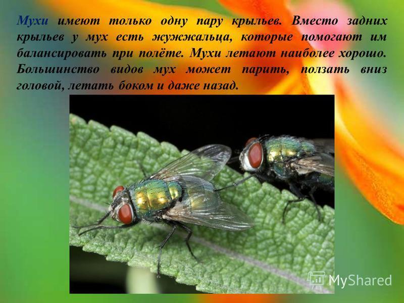 Мухи имеют только одну пару крыльев. Вместо задних крыльев у мух есть жужжальца, которые помогают им балансировать при полёте. Мухи летают наиболее хорошо. Большинство видов мух может парить, ползать вниз головой, летать боком и даже назад.