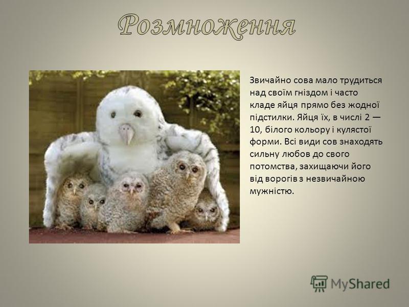 Звичайно сова мало трудиться над своїм гніздом і часто кладе яйця прямо без жодної підстилки. Яйця їх, в числі 2 10, білого кольору і кулястої форми. Всі види сов знаходять сильну любов до свого потомства, захищаючи його від ворогів з незвичайною муж