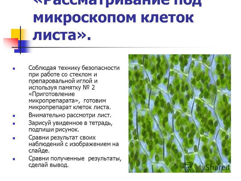 «Рассматривание под микроскопом клеток листа». Соблюдая технику безопасности при работе со стеклом и препаровальной иглой и используя памятку 2 «Приготовление микропрепарата», готовим микропрепарат клеток листа. Внимательно рассмотри лист. Зарисуй ув
