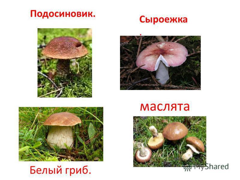 маслята Подосиновик. Белый гриб. Сыроежка.