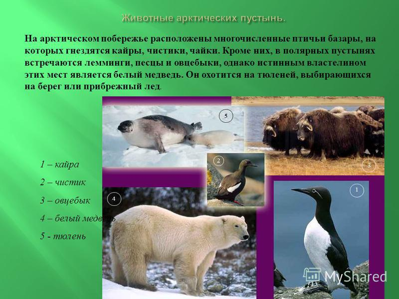 На арктическом побережье расположены многочисленные птичьи базары, на которых гнездятся кайры, чистики, чайки. Кроме них, в полярных пустынях встречаются лемминги, песцы и овцебыки, однако истинным властелином этих мест является белый медведь. Он охо
