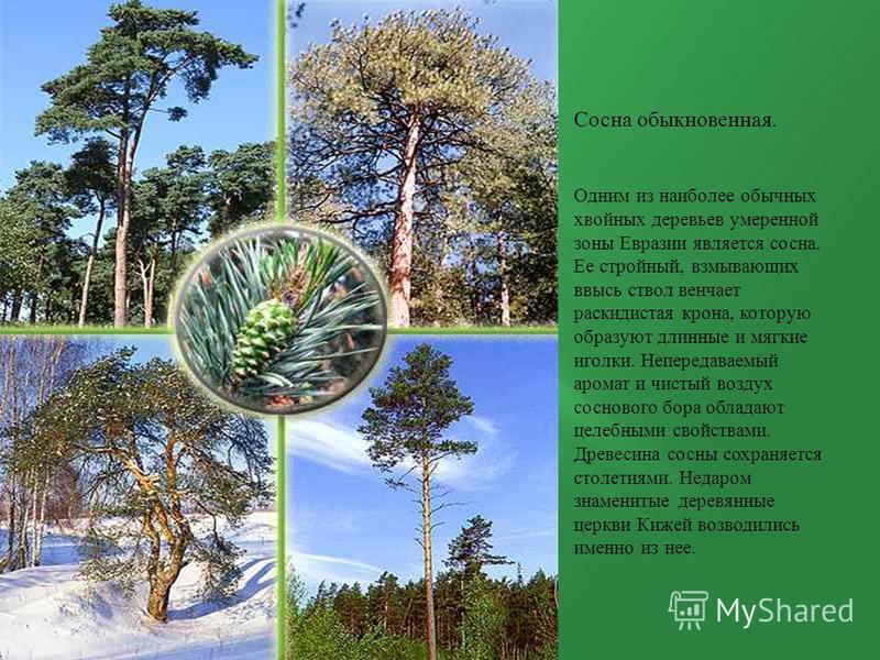 Сосна обыкновенная. Одним из наиболее обычных хвойных деревьев умеренной зоны Евразии является сосна. Ее стройный, взмывающих ввысь ствол венчает раскидистая крона, которую образуют длинные и мягкие иголки. Непередаваемый аромат и чистый воздух сосно