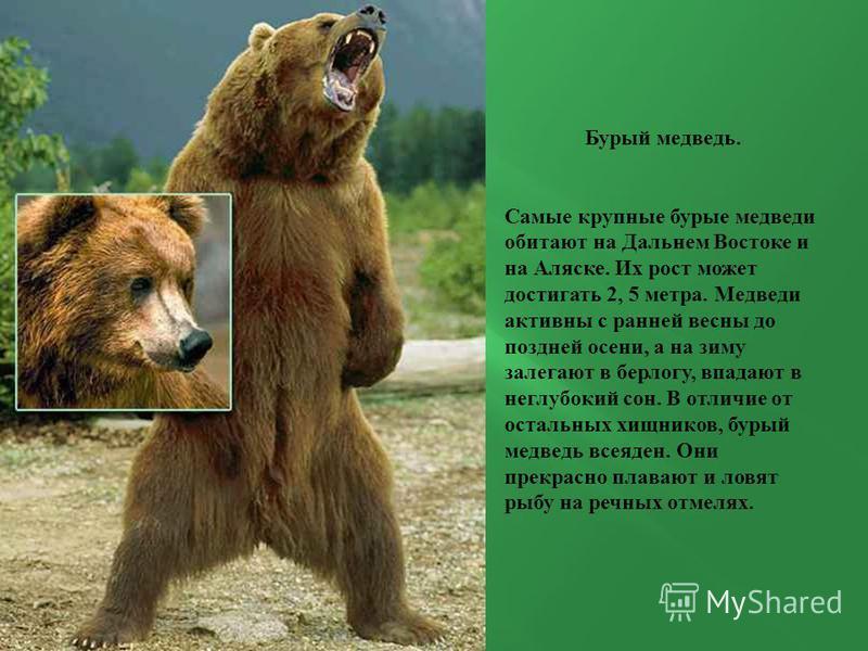 Бурый медведь. Самые крупные бурые медведи обитают на Дальнем Востоке и на Аляске. Их рост может достигать 2, 5 метра. Медведи активны с ранней весны до поздней осени, а на зиму залегают в берлогу, впадают в неглубокий сон. В отличие от остальных хищ