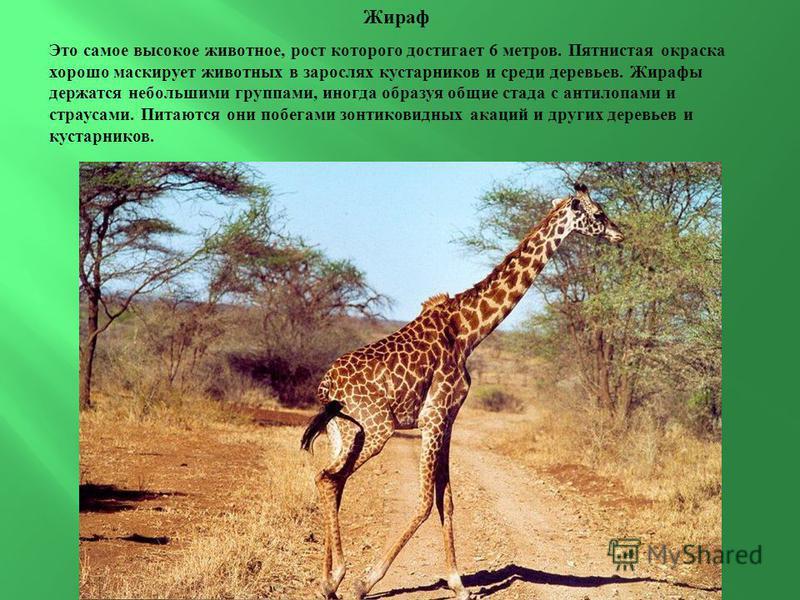 Жираф Это самое высокое животное, рост которого достигает 6 метров. Пятнистая окраска хорошо маскирует животных в зарослях кустарников и среди деревьев. Жирафы держатся небольшими группами, иногда образуя общие стада с антилопами и страусами. Питаютс