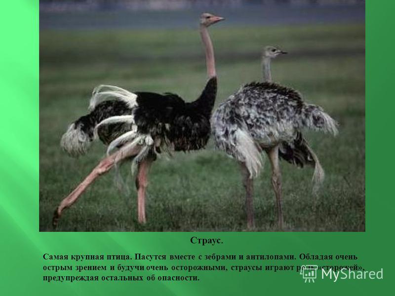 Страус. Самая крупная птица. Пасутся вместе с зебрами и антилопами. Обладая очень острым зрением и будучи очень осторожными, страусы играют роль «сторожей», предупреждая остальных об опасности.