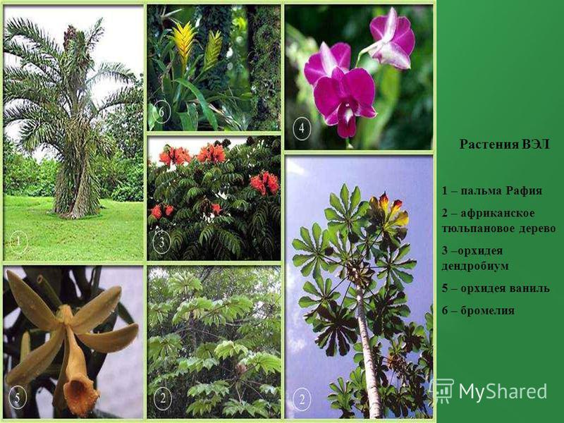Растения ВЭЛ 1 – пальма Рафия 2 – африканское тюльпановое дерево 3 –орхидея дендробиум 5 – орхидея ваниль 6 – бромелия