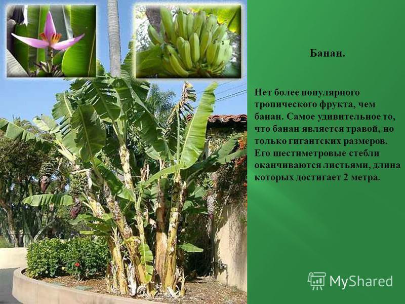 Банан. Нет более популярного тропического фрукта, чем банан. Самое удивительное то, что банан является травой, но только гигантских размеров. Его шестиметровые стебли оканчиваются листьями, длина которых достигает 2 метра.