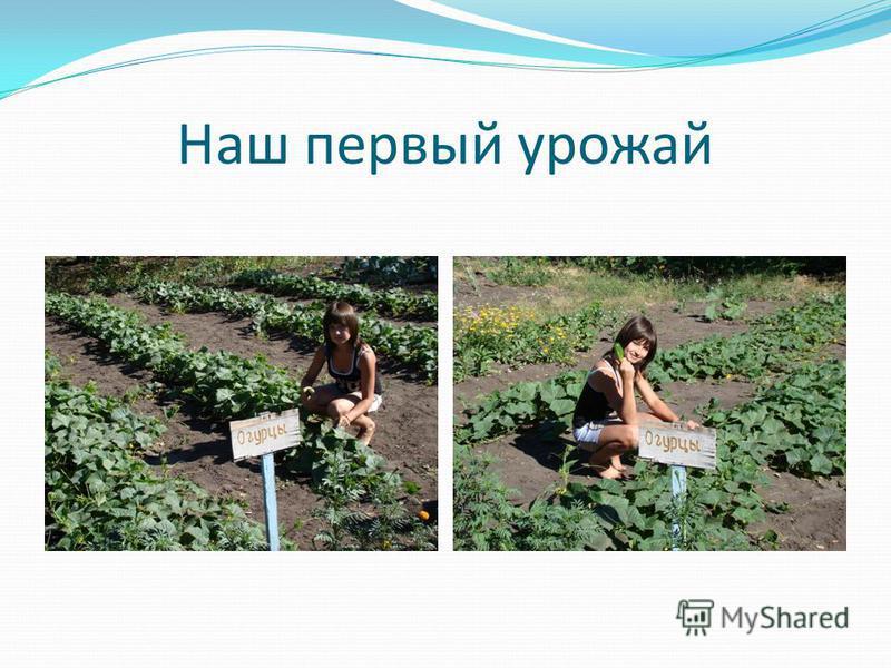 Наш первый урожай