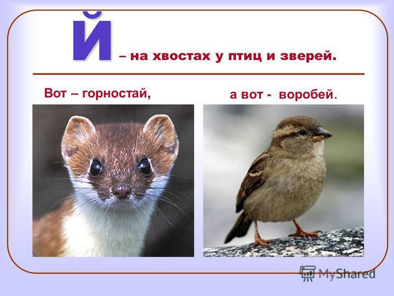 Й Й – на хвостах у птиц и зверей. а вот - воробей. Вот – горностай,