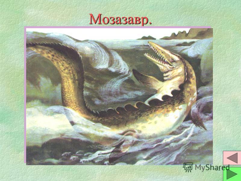 11 Плезиозавр. §Тело морских ящеров было похоже на тело гигантских черепах. Наружного панциря не было. Голова была ма- ленькой и сидела на длинной шее. §Они были хищниками. Питались рыбой и головоногими моллюсками. В желудках находят камни, которыми