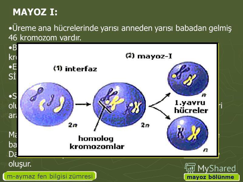 m-aymaz fen bilgisi zümresi mayoz bölünme Üreme ana hücrelerinde yarısı anneden yarısı babadan gelmiş 46 kromozom vardır. Bu kromozomlarda aynı karakterden sorumlu olanlara eş kromozomlar (homolog kromozomlar) denir. Eş kromozomlar belirli noktalarda