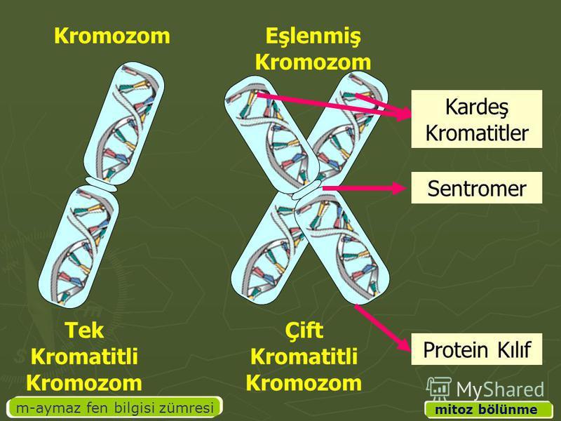 m-aymaz fen bilgisi zümresi mitoz bölünme Kardeş Kromatitler Sentromer Protein Kılıf Tek Kromatitli Kromozom Çift Kromatitli Kromozom KromozomEşlenmiş Kromozom