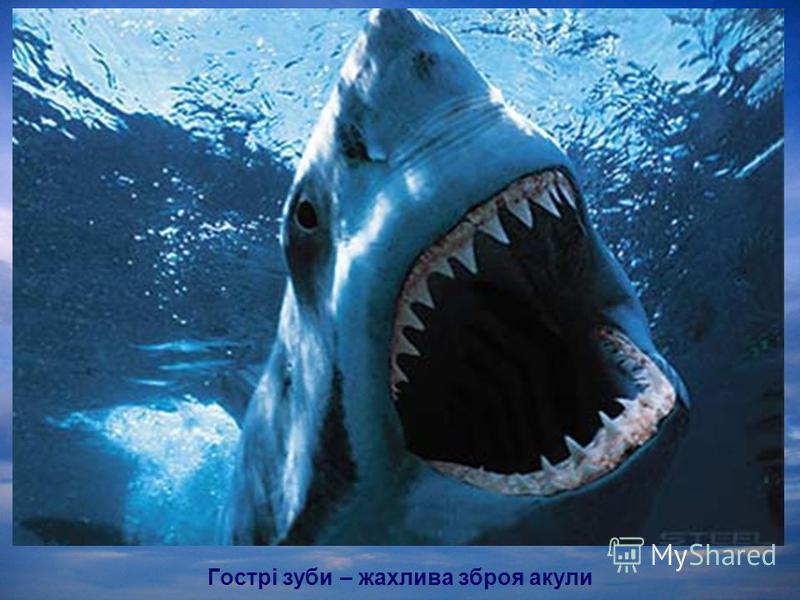 Гострі зуби – жахлива зброя акули