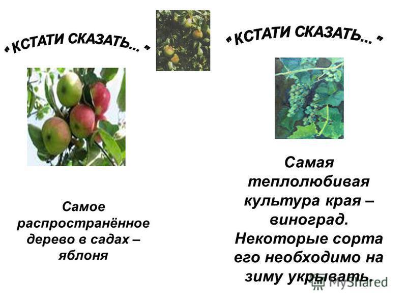 Самое распространённое дерево в садах – яблоня Самая теплолюбивая культура края – виноград. Некоторые сорта его необходимо на зиму укрывать.