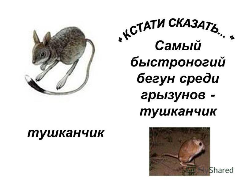 тушканчик Самый быстроногий бегун среди грызунов - тушканчик