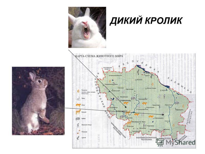 ДИКИЙ КРОЛИК