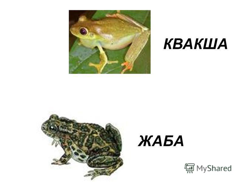 ЖАБА КВАКША