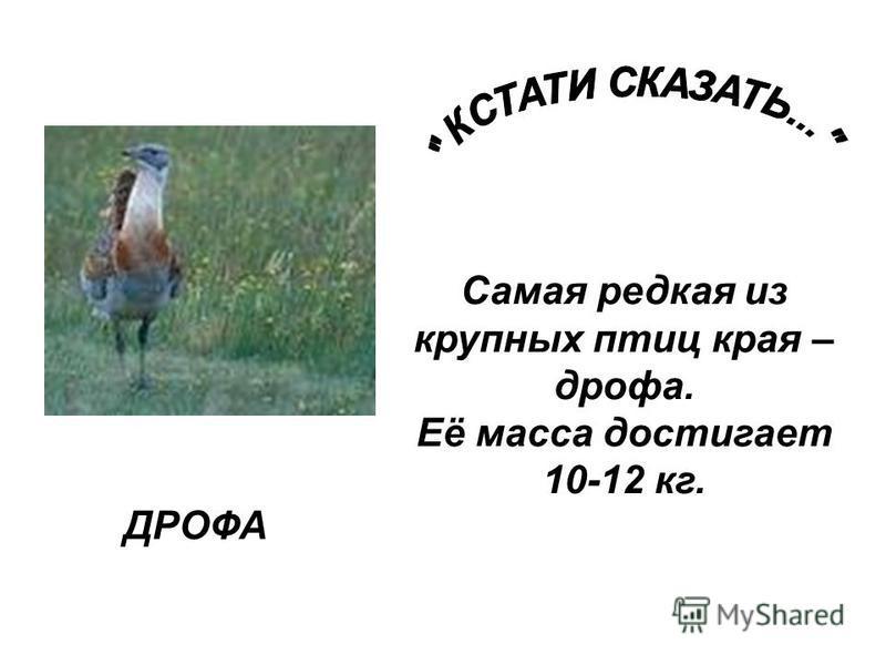 ДРОФА Самая редкая из крупных птиц края – дрофа. Её масса достигает 10-12 кг.