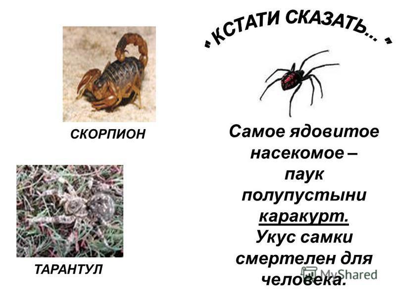 СКОРПИОН ТАРАНТУЛ Самое ядовитое насекомое – паук полупустыни каракурт. Укус самки смертелен для человека.