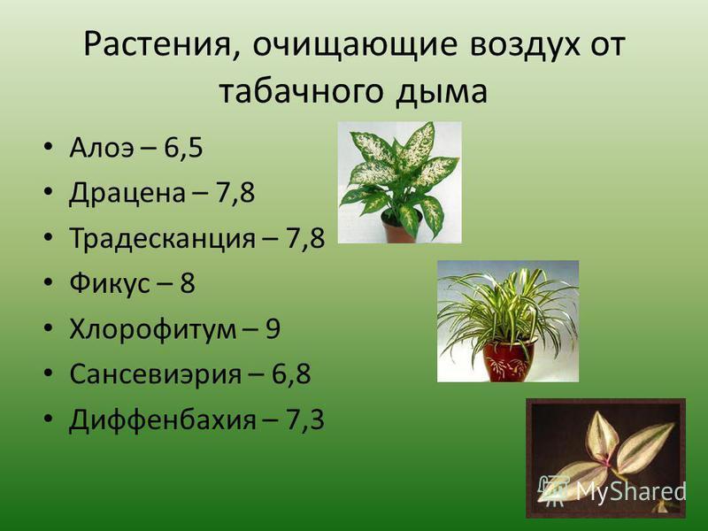 Растения, очищающие воздух от табачного дыма Алоэ – 6,5 Драцена – 7,8 Традесканция – 7,8 Фикус – 8 Хлорофитум – 9 Сансевиэрия – 6,8 Диффенбахия – 7,3
