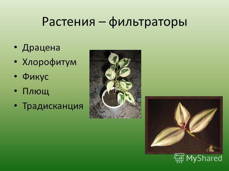 Растения – фильтраторы Драцена Хлорофитум Фикус Плющ Традисканция