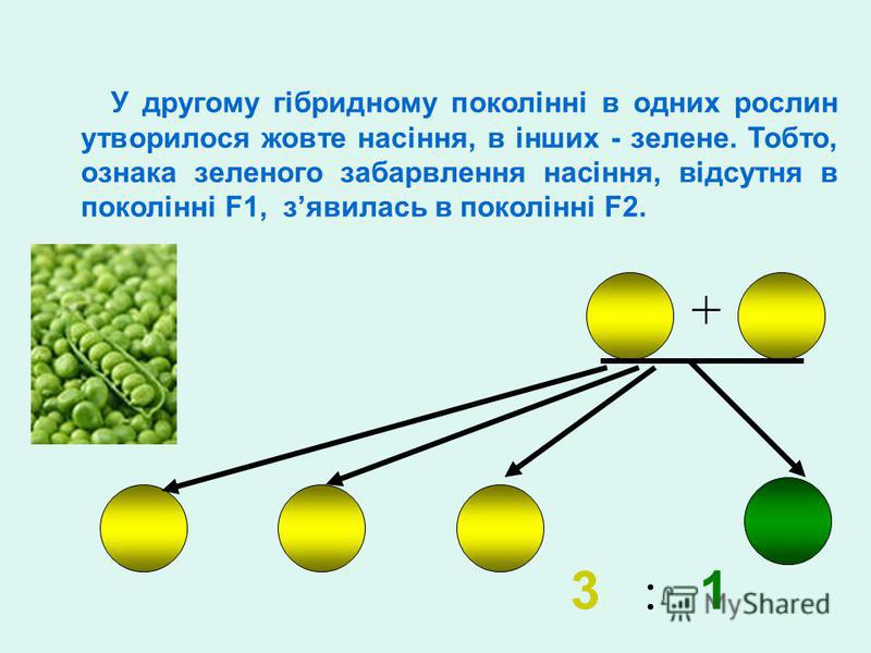3 : 1 + У другому гібридному поколінні в одних рослин утворилося жовте насіння, в інших - зелене. Тобто, ознака зеленого забарвлення насіння, відсутня в поколінні F1, зявилась в поколінні F2.