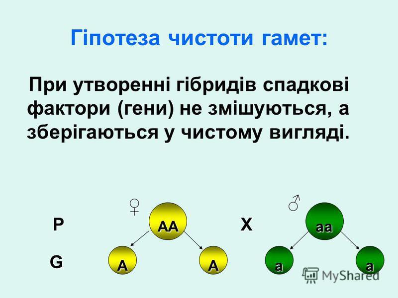 Гіпотеза чистоти гамет: При утворенні гібридів спадкові фактори (гени) не змішуються, а зберігаються у чистому вигляді. АА ААаа аа P G X