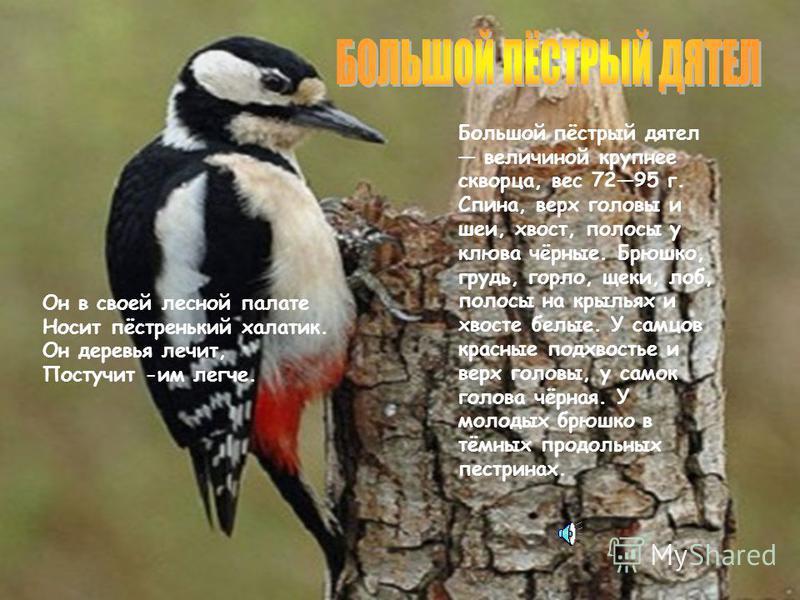 Вертишейка небольшая птица, вес 32,449 г. Верхняя сторона тела птички буровато-серая, на темени и спине продольные черные полосы. Крылья и хвост рыжие с темными полосами. Нижняя сторона тела охристо- рыжим оттенком с поперечным тонким рисунком на гор
