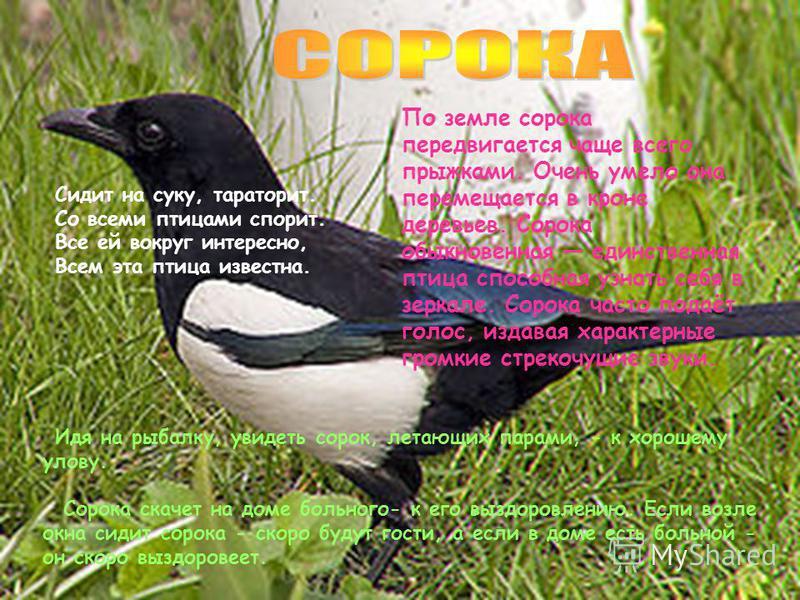 Кукушка очень полезная птица. Она уничтожает вредных мохнатых гусениц, которые другим птицам не по зубам. Не ворона, не синица. Как зовётся эта птица? Примостилась на суку – Раздалось в лесу «ку – ку». Кукушку кстили, да языка не прикусили. Кукушка х