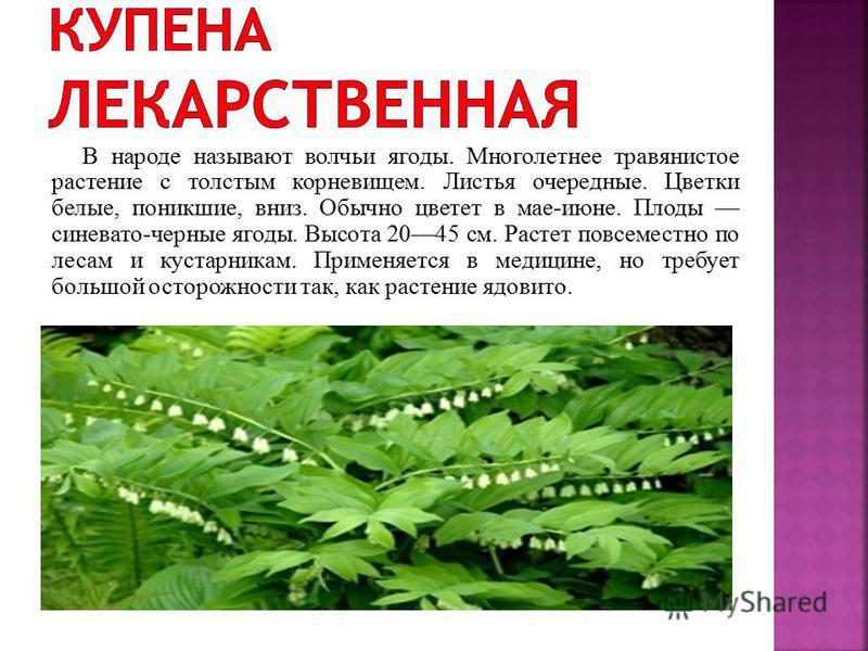 Травянистое многолетнее растение, 15-20 см высоты. Размножается луковицей. Листья узкие, к верху немного расширены, до 15 см длины. Цветки от ярко-голубого до синего цвета. Растёт на степных склонах, в зарослях кустарников.