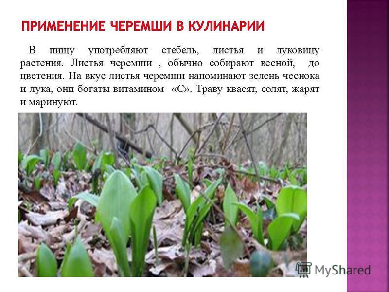 Многолетнее травянистое растение. Имеет луковицу, стебель, два листа у основания. Поскольку черемша является одним из самых ранних источников витаминов, в лесу проснувшийся после зимней спячки медведь, лакомится травой и быстро восстанавливает свои с
