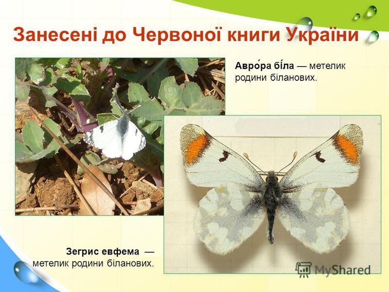 Занесені до Червоної книги України Зегрис евфема метелик родини біланових. Авро́ра бі́ла метелик родини біланових.