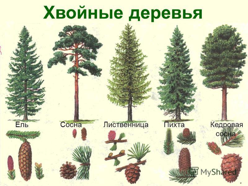Хвойные деревья Ель Сосна Лиственница Пихта Кедровая. сосна