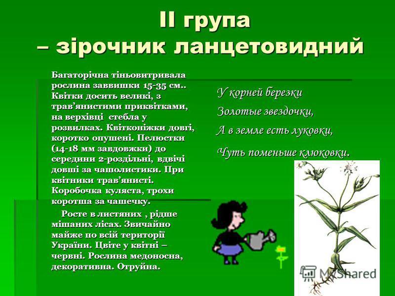 ІІ група – зірочник ланцетовидний ІІ група – зірочник ланцетовидний Багаторічна тіньовитривала рослина заввишки 15-35 см.. Квітки досить великі, з травянистими приквітками, на верхівці стебла у розвилках. Квітконіжки довгі, коротко опушені. Пелюстки