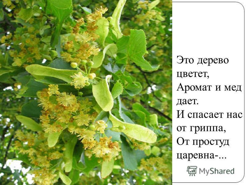 Это дерево цветет, Аромат и мед дает. И спасает нас от гриппа, От простуд царевна-...