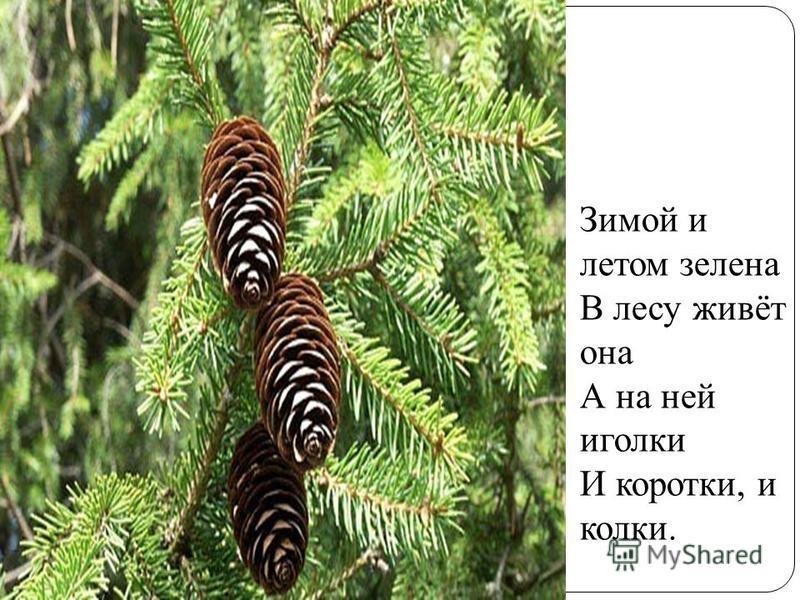 Зимой и летом зелена В лесу живёт она А на ней иголки И коротки, и колки.