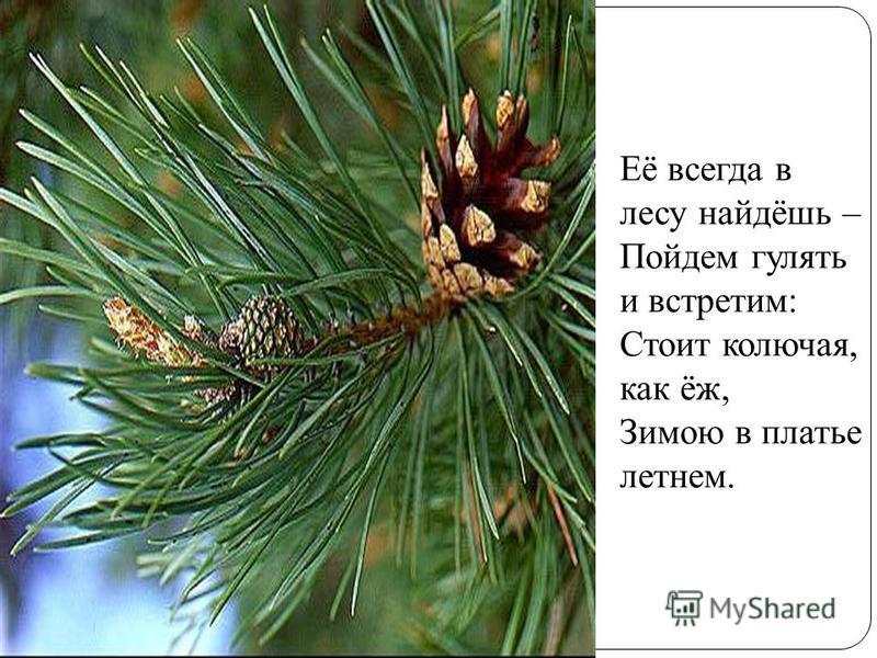 Её всегда в лесу найдёшь – Пойдем гулять и встретим: Стоит колючая, как ёж, Зимою в платье летнем.