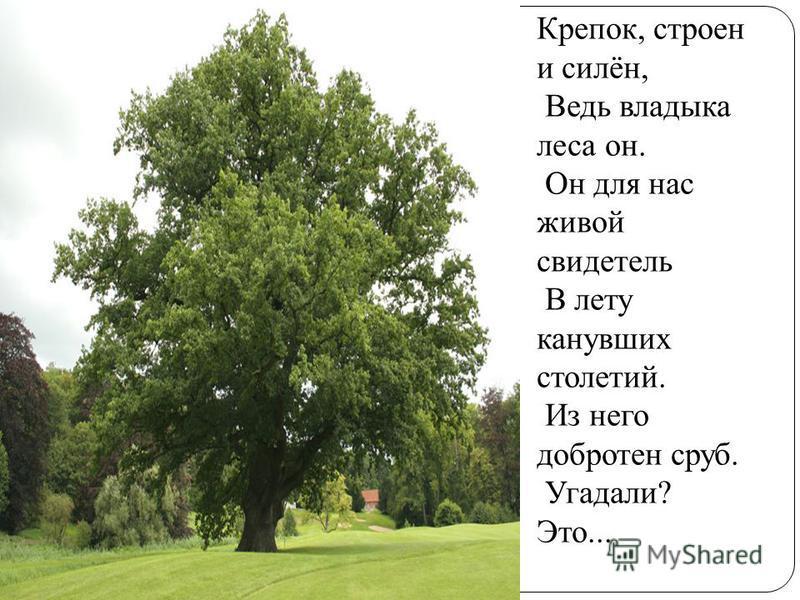 Крепок, строен и силён, Ведь владыка леса он. Он для нас живой свидетель В лету канувших столетий. Из него добротен сруб. Угадали? Это...