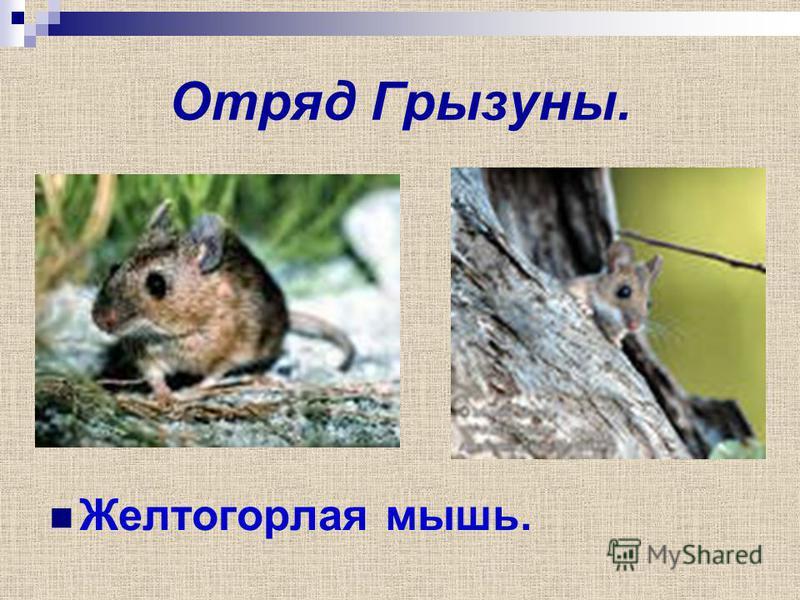 Отряд Грызуны. Желтогорлая мышь.