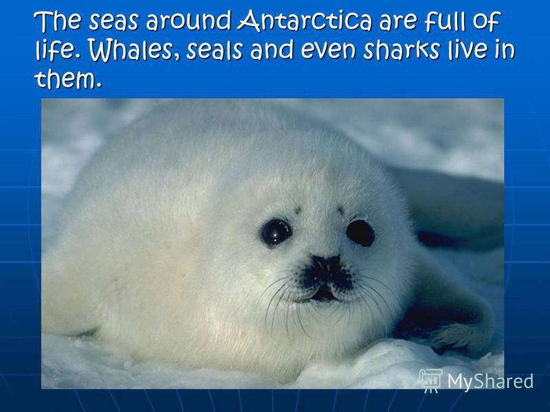 The seas around Antarctica are full of life. Whales, seals and even sharks live in them.