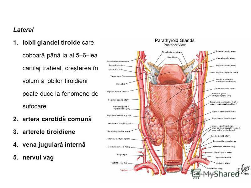 Lateral 1.lobii glandei tiroide care coboară până la al 5–6–lea cartilaj traheal; creşterea în volum a lobilor tiroidieni poate duce la fenomene de sufocare 2.artera carotidă comună 3.arterele tiroidiene 4.vena jugulară internă 5.nervul vag