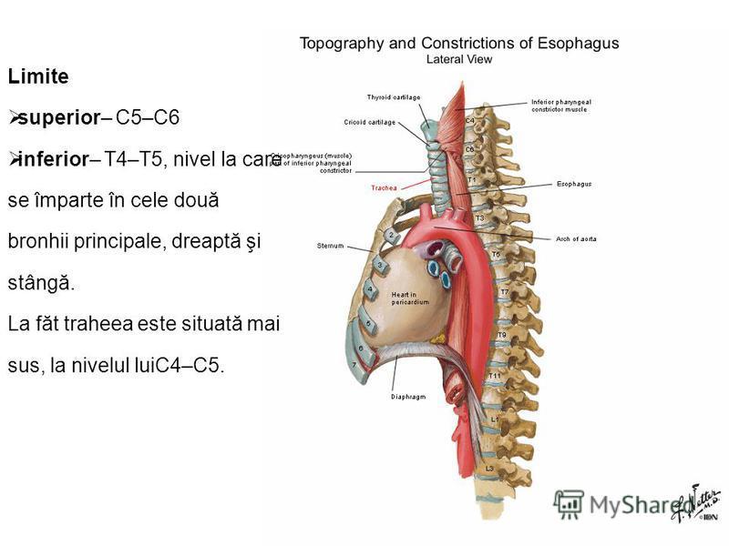 Limite superior– C5–C6 inferior– T4–T5, nivel la care se împarte în cele două bronhii principale, dreaptă şi stângă. La făt traheea este situată mai sus, la nivelul luiC4–C5.