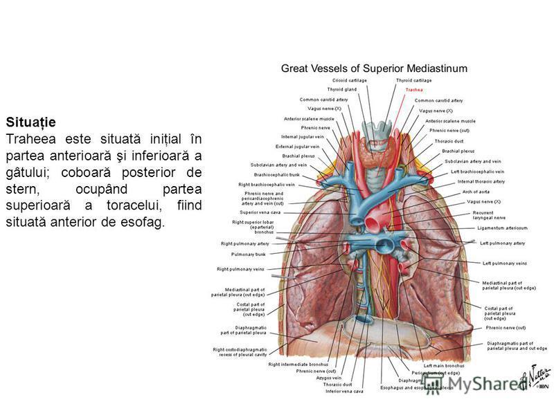 Situaţie Traheea este situată iniţial în partea anterioară şi inferioară a gâtului; coboară posterior de stern, ocupând partea superioară a toracelui, fiind situată anterior de esofag.
