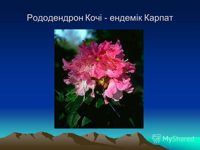 Рододендрон Кочі - ендемік Карпат