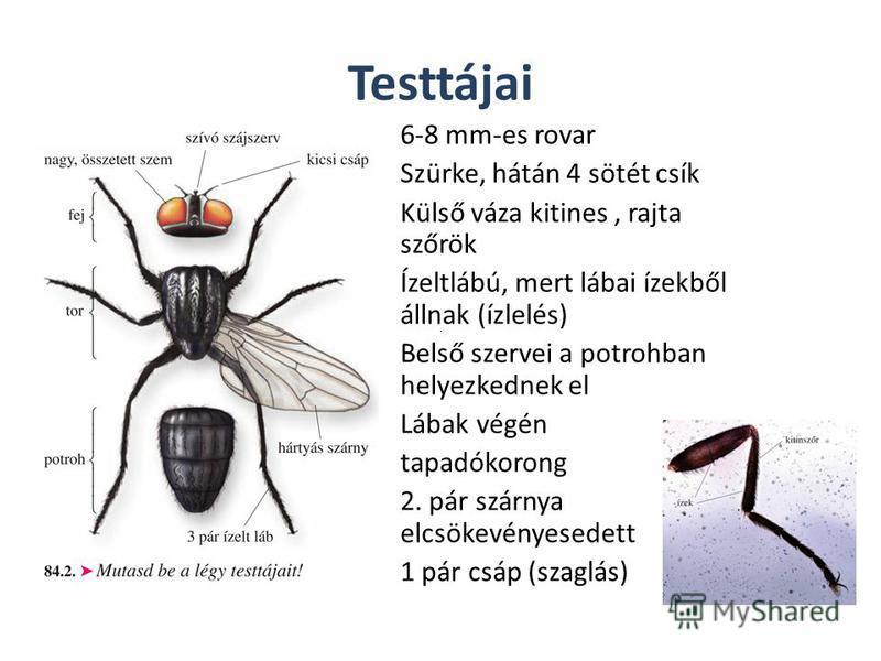 Testtájai 6-8 mm-es rovar Szürke, hátán 4 sötét csík Külső váza kitines, rajta szőrök Ízeltlábú, mert lábai ízekből állnak (ízlelés) Belső szervei a potrohban helyezkednek el Lábak végén tapadókorong 2. pár szárnya elcsökevényesedett 1 pár csáp (szag