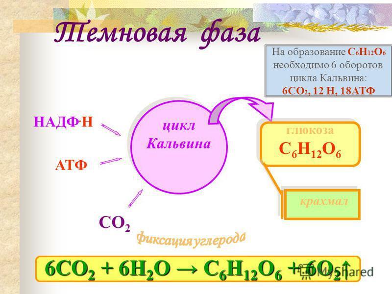 Темновая фаза НАДФ. Н АТФ цикл Кальвина глюкоза С 6 Н 12 О 6 СО 2 крахмал 6СО 2 + 6Н 2 О С 6 Н 12 О 6 + 6О 2 6СО 2 + 6Н 2 О С 6 Н 12 О 6 + 6О 2 На образование С 6 Н 12 О 6 необходимо 6 оборотов цикла Кальвина: 6СО 2, 12 Н, 18АТФ