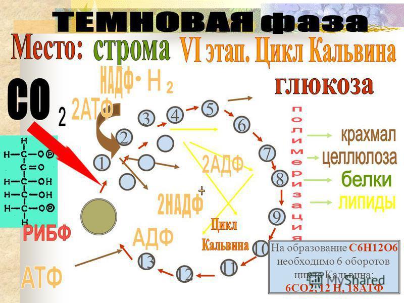 6 5 4 7 8 9 10 11 12 13 3 1 2 На образование С6Н12О6 необходимо 6 оборотов цикла Кальвина: 6СО2, 12 Н, 18АТФ