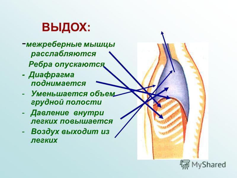 ВЫДОХ: - межреберные мышцы расслабляются Ребра опускаются - Диафрагма поднимается -У-Уменьшается объем грудной полости -Д-Давление внутри легких повышается -В-Воздух выходит из легких