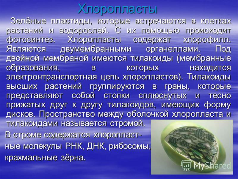 Хлоропласты Зелёные пластиды, которые встречаются в клетках растений и водорослей. С их помощью происходит фотосинтез. Хлоропласты содержат хлорофилл. Являются двумембранными органеллами. Под двойной мембраной имеются тилакоиды (мембранные образовани