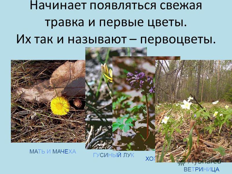 Начинает появляться свежая травка и первые цветы. Их так и называют – первоцветы. МАТЬ И МАЧЕХА ГУСИНЫЙ ЛУК ХОХЛАТКА ВЕТРИНИЦА